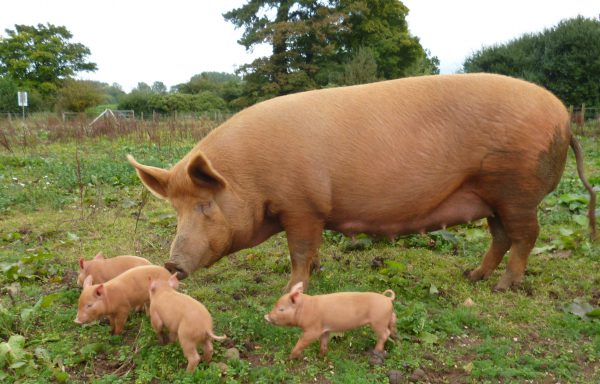 Rare Breed Weaner and Finisher Pencils