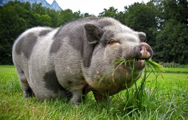 Pot Bellied Pig Feed